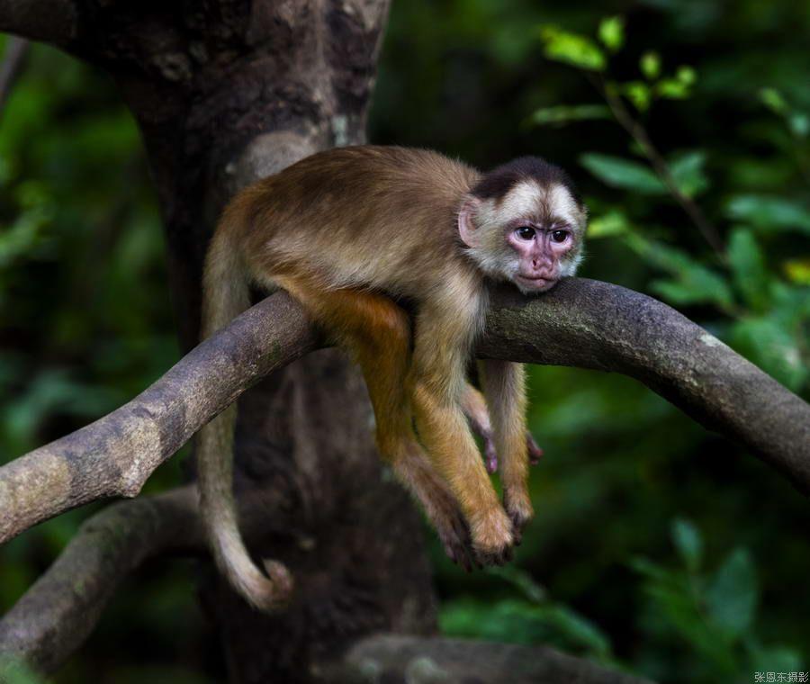 名称: 亚马逊森林长尾猴 所属分类:巴 西 更新时间:2016-9-2 14:29:5